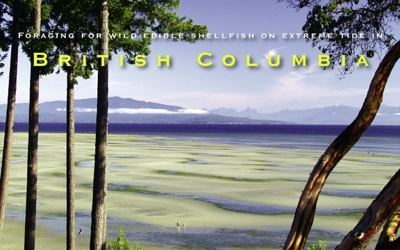 Foraging for wild edible shellfish on extreme tide in British Columbia