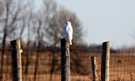 A Winter Hoot on Amherst Island