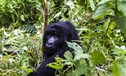Three New Gorilla Families Habituated In Uganda